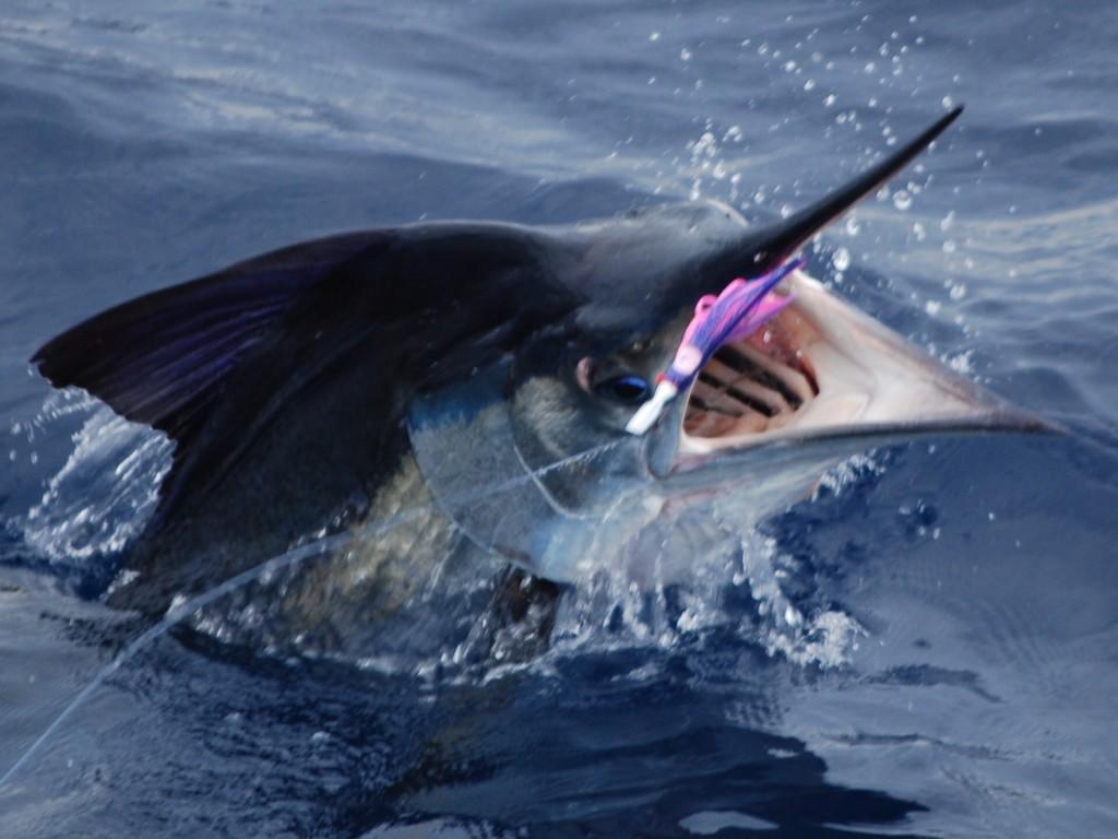Blue Marlin!~